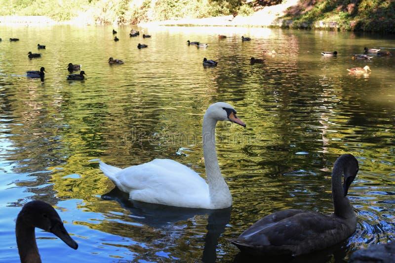Lago swans na lagoa foto de stock