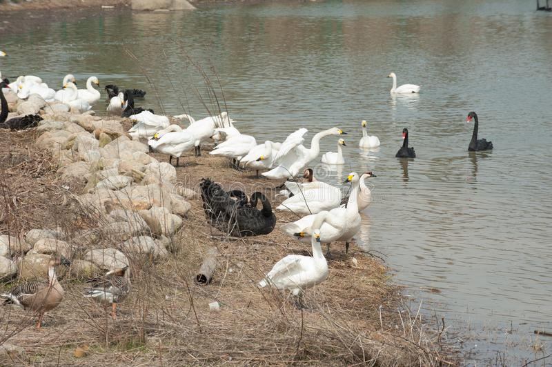 Lago tribù-cigno del cigno fotografia stock libera da diritti