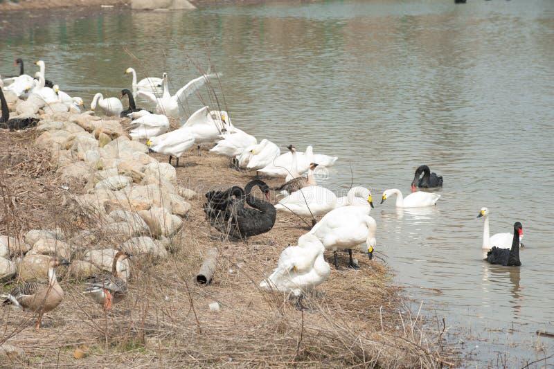Lago tribù-cigno del cigno fotografie stock libere da diritti