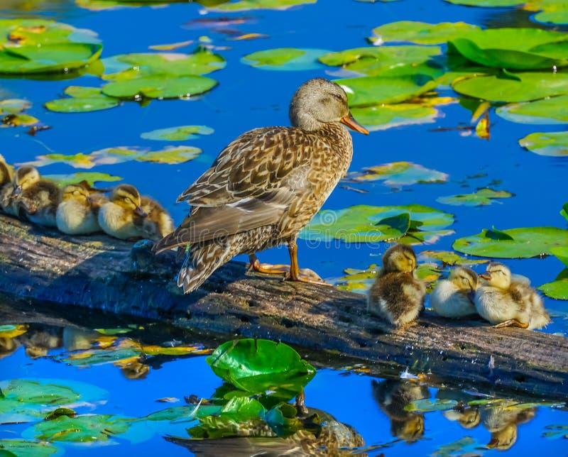Lago Washington K park de Duck Female Ducklings Juanita Bay do pato selvagem fotos de stock