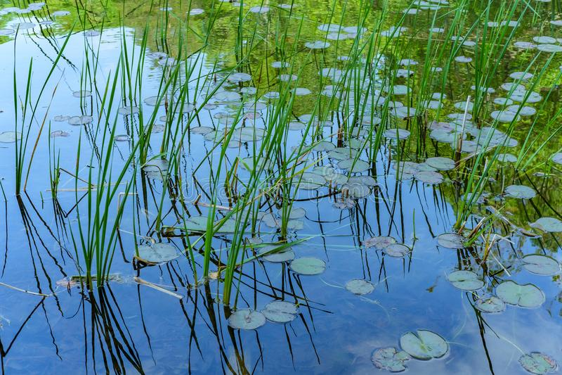 Lago Waterlilies delle canne immagine stock