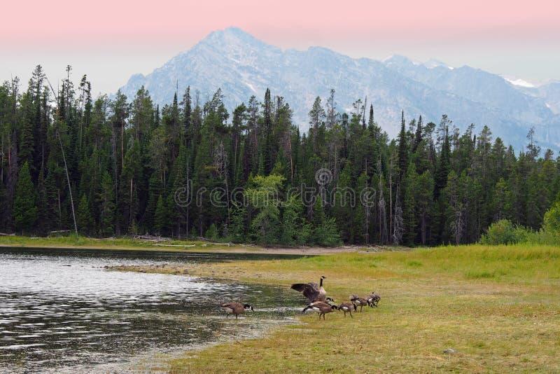 Lago y gansos foto de archivo