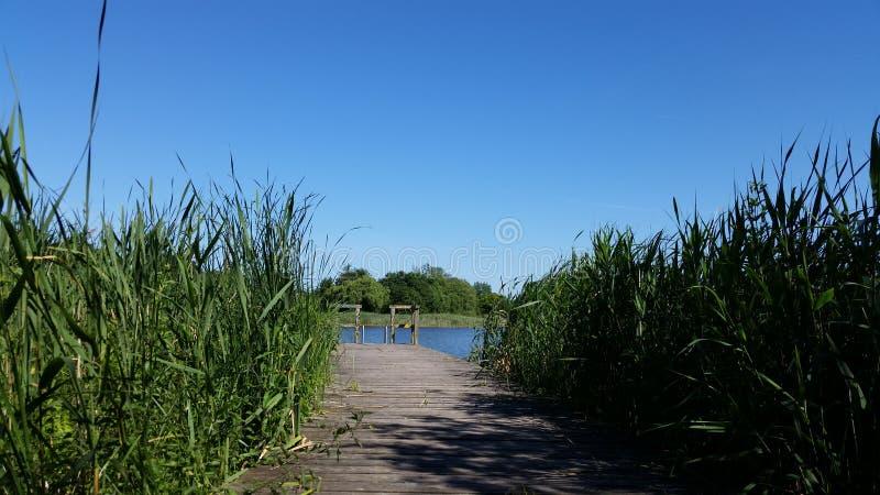 Lago y humedal Puente de madera con las cañas verdes jovenes fotografía de archivo