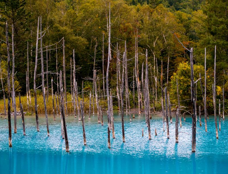 A lagoa azul Aoiike com árvores secas e reflexão da água na cidade de Biei imagem de stock