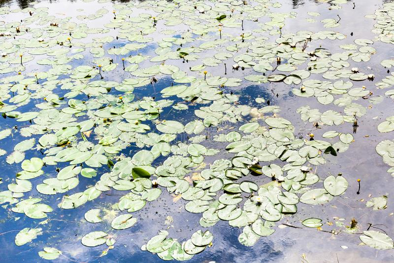 Lagoa coberto de vegetação pelo lírio de água amarela e branca fotos de stock