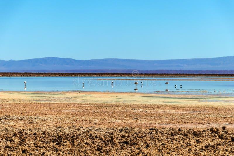 A lagoa com flamingos andinos, céu de Chaxa do flamingo situado no centro de Salar de Atacama, o Chile fotografia de stock royalty free
