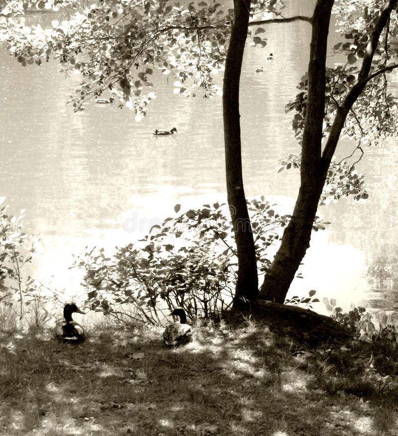 Lagoa com patos e árvore. fotografia de stock