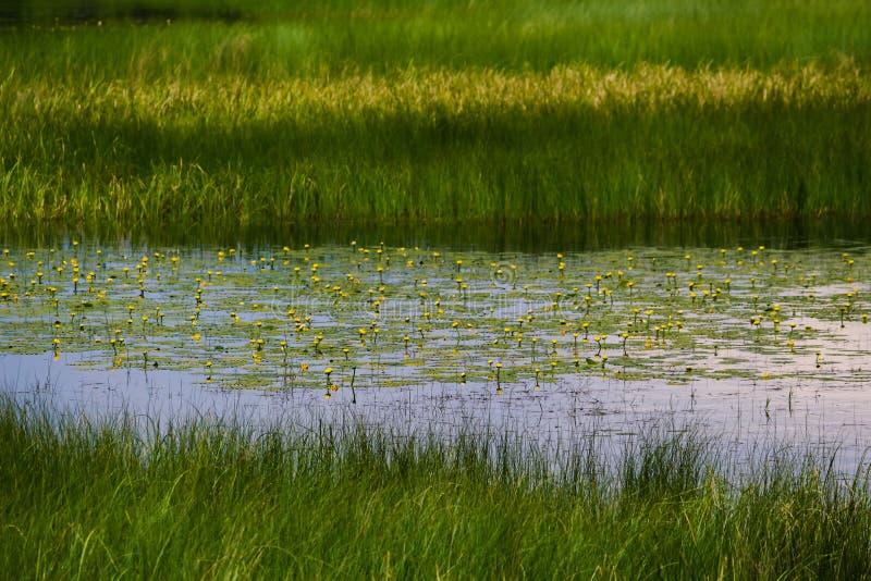Lagoa da almofada de lírio fotos de stock royalty free