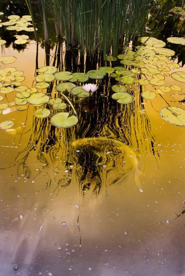 Lagoa de Koi imagens de stock royalty free