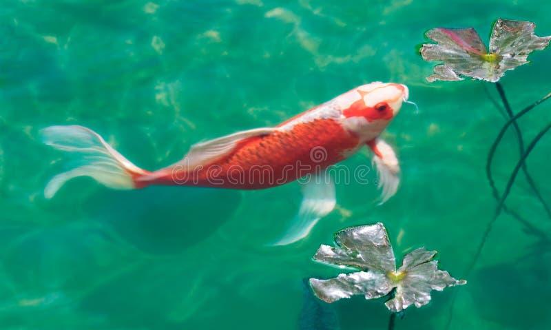 Lagoa de Koi imagem de stock