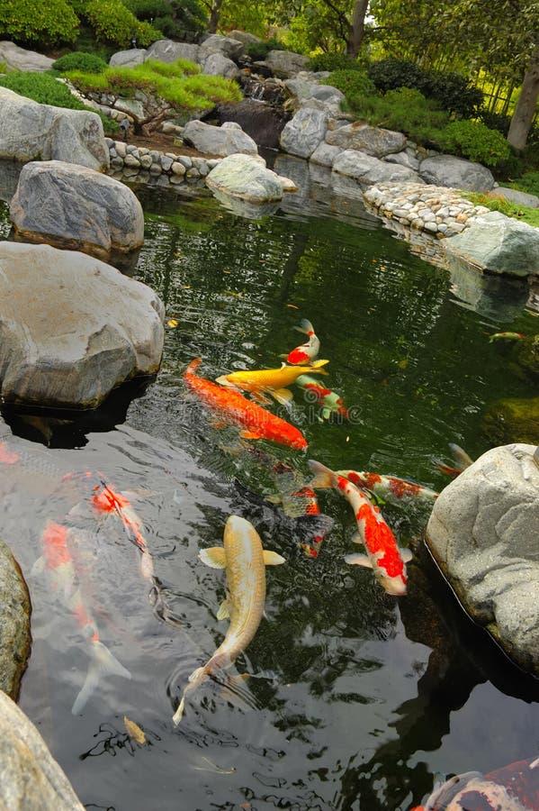 Lagoa de Koi fotografia de stock royalty free