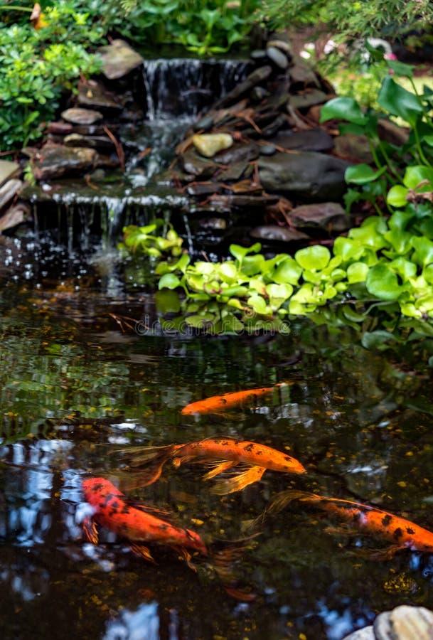 Lagoa de Koi com peixes do koi imagem de stock