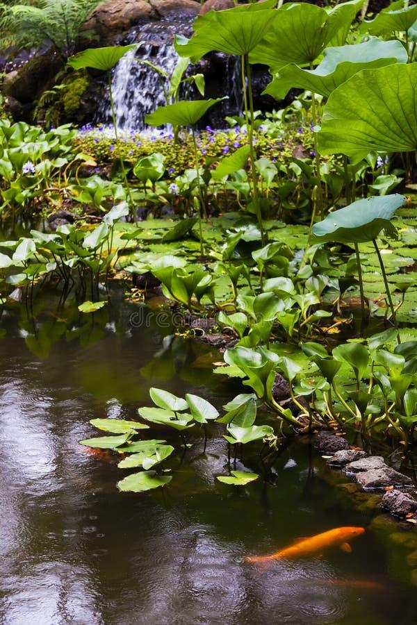 Lagoa de peixes do ouro no jardim botânico tropical de Havaí, imagem de stock royalty free