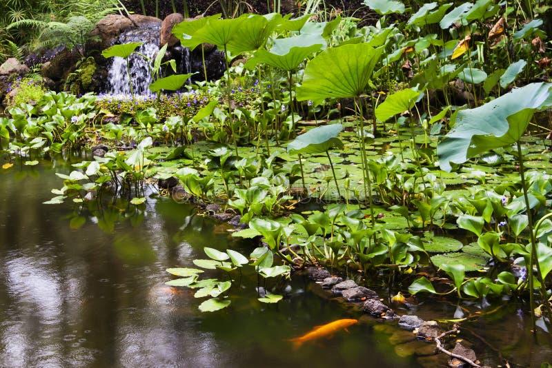 Lagoa de peixes do ouro no jardim botânico tropical de Havaí imagens de stock