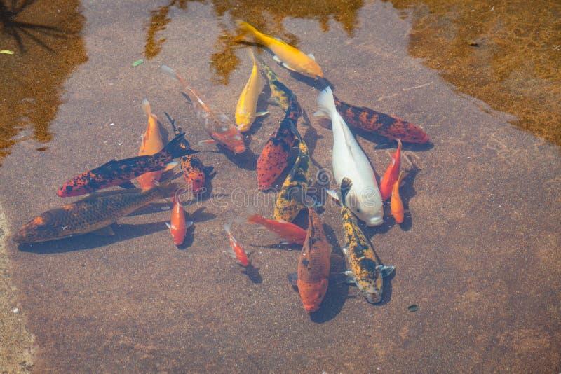 Lagoa de peixes de Koi no dia ensolarado imagens de stock royalty free