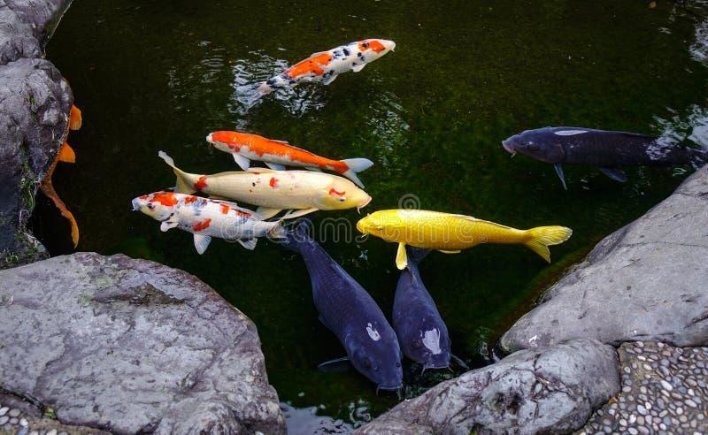 Lagoa de peixes de surpresa de Koi em Kanazawa, Japão foto de stock royalty free