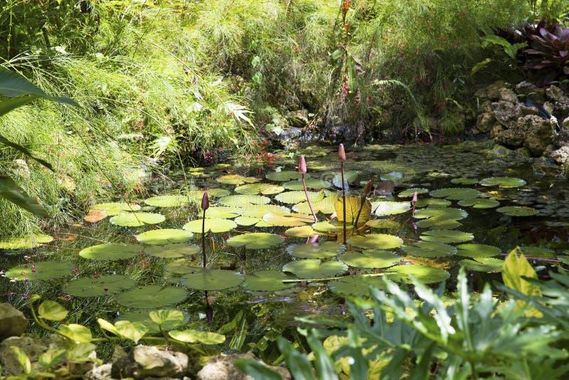 Lagoa de relaxamento do lírio na selva de ilhas de Grand Cayman imagem de stock