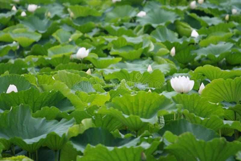 Download Lagoa dos lótus imagem de stock. Imagem de lago, bonito - 10055657