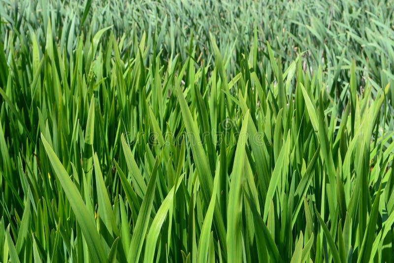 A lagoa verde leu o fundo fotos de stock