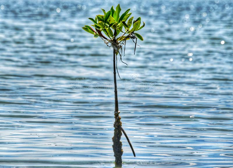 Lagoon side srilankan famous plants. Single plant stay like a boss in the ocean royalty free stock photo