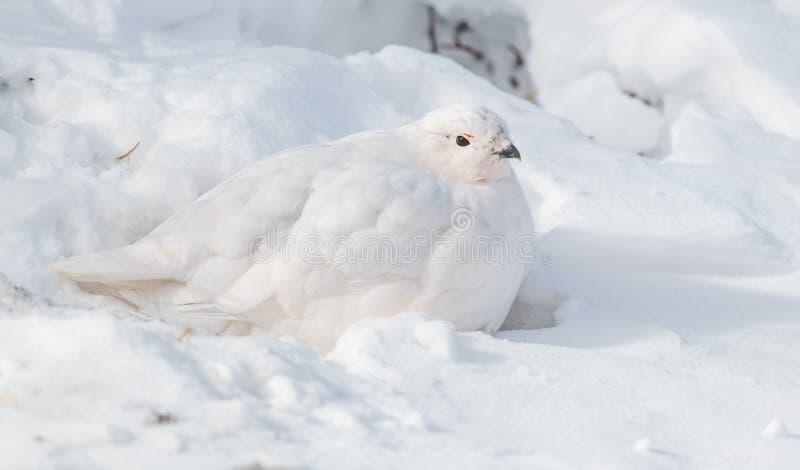 lagopède alpin Blanc-coupé la queue se reposant dans le plumage d'hiver image libre de droits