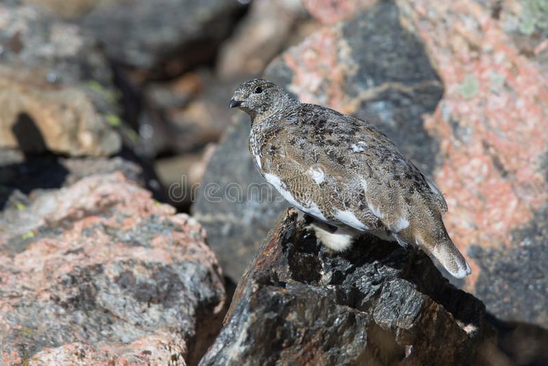 Lagopède alpin de roche photographie stock