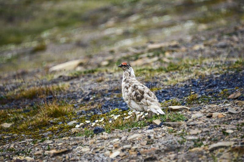 Lagopède alpin masculin de roche dans le Svalbard photographie stock libre de droits