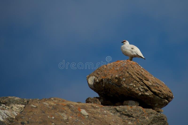 Lagopède alpin masculin sur l'arête se tenant sur le rocher image stock