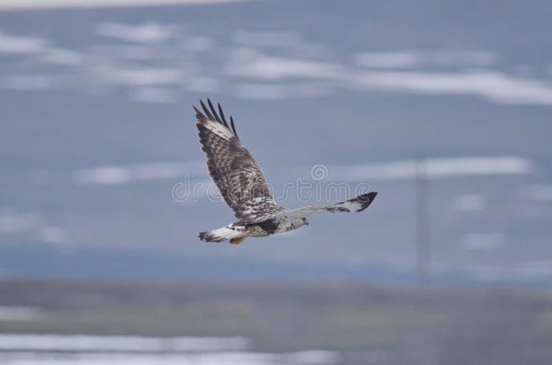 Lagopus à jambes rugueux de Buteo de buse photographie stock