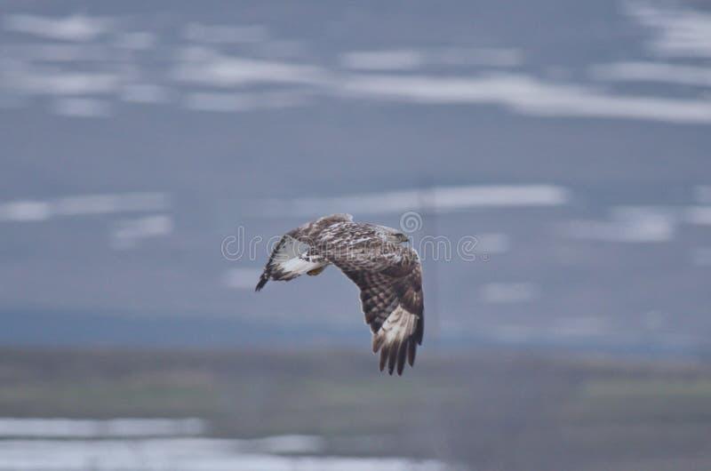 Lagopus à jambes rugueux de Buteo de buse image stock