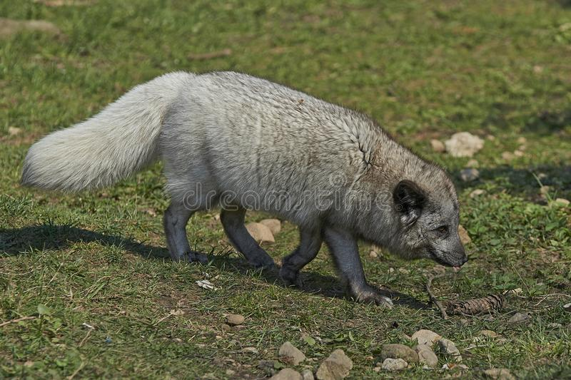 Lagopus d'Alopex de Fox arctique image libre de droits