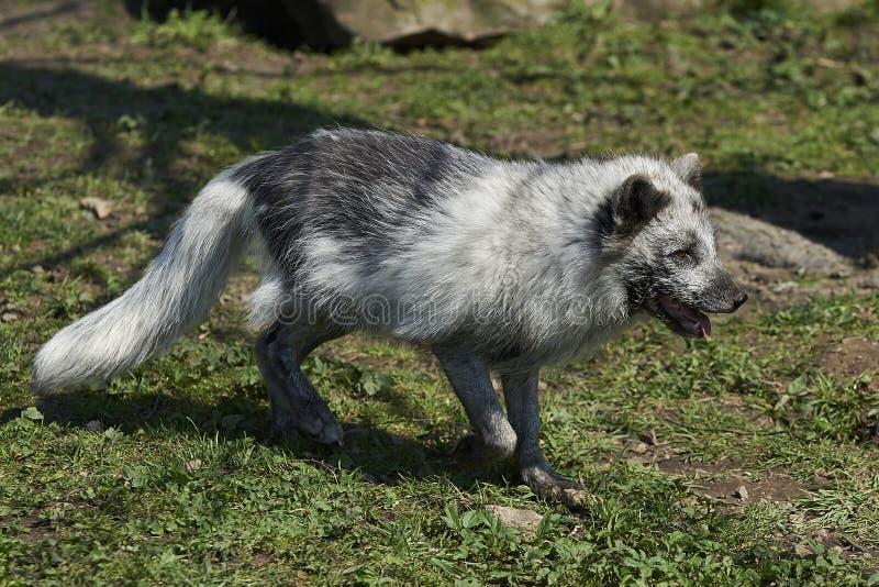 Lagopus d'Alopex de Fox arctique photographie stock libre de droits