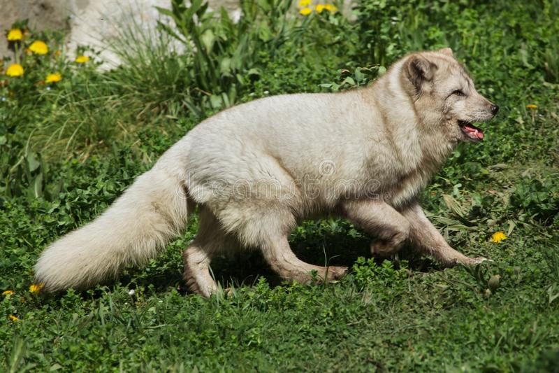Lagopus de Vulpes de renard arctique photos stock