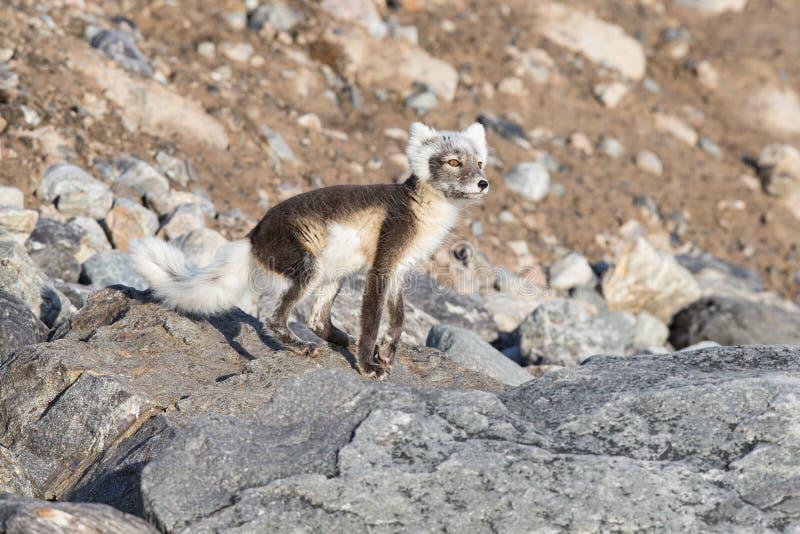 Lagopus de Vulpes de renard arctique ?galement connu sous le nom de renard polaire en ?t? images stock