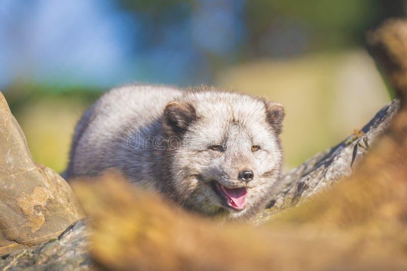 Lagopus de Vulpes de renard arctique photographie stock libre de droits