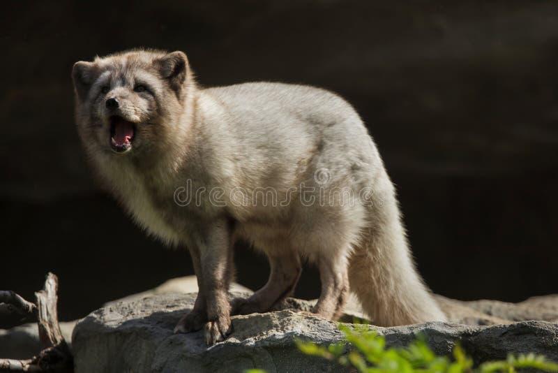 Lagopus del Vulpes del zorro ?rtico foto de archivo
