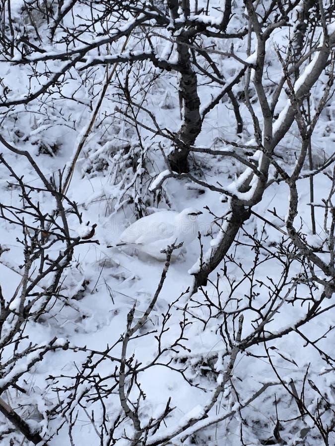 Lagopus femenino camuflado del Lagopus de la perdiz nival del sauce imagenes de archivo