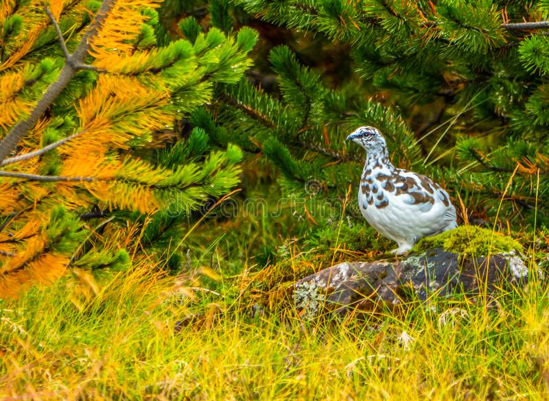 Rock ptarmigan in autumn. Lagopus muta - Rock Ptarmigan or Rock Grouse in autumn. Plumage feathers changing to white for winter in Iceland stock photos