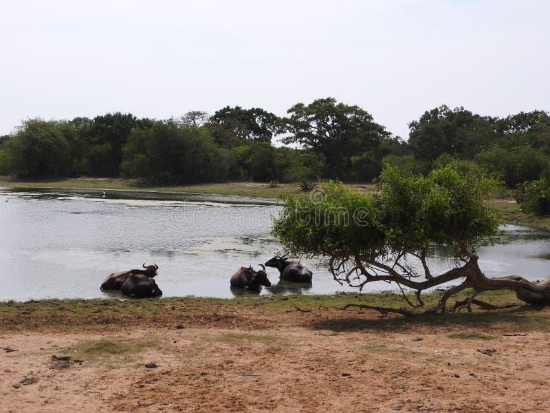 Lagos, pájaros, naturaleza y paisaje en el parque nacional de Yala, Sri Lanka foto de archivo