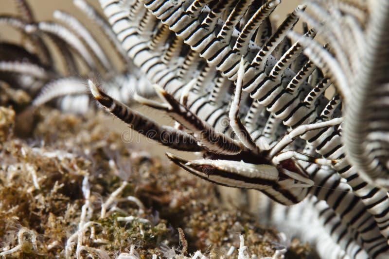 Lagosta da ocupa da estrela de pena dos elegans de Allogalathea foto de stock royalty free