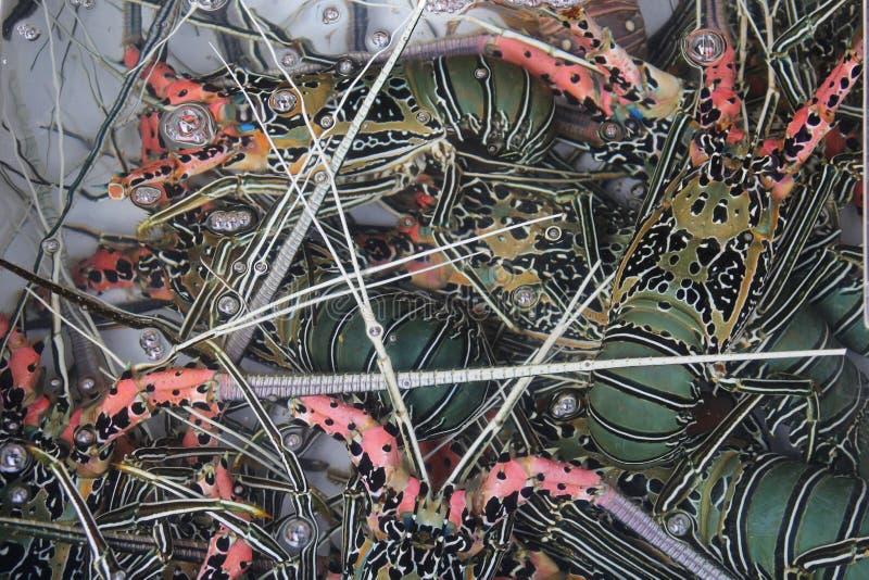 Lagostas vivas frescas coloridas em uma bacia da água  imagens de stock