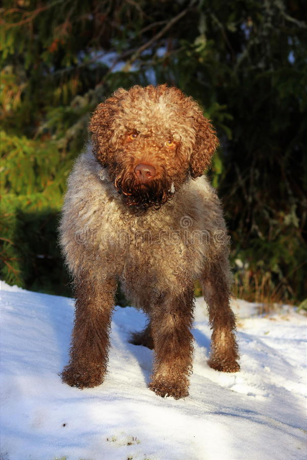 Lagotto dans la forêt photo stock