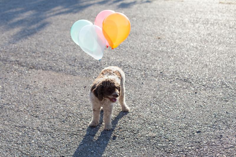 Lagotto romagnolo dog with balloons stock photography