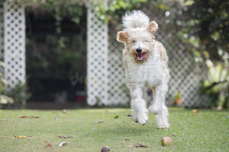 Lagotto romagnolo dog royalty free stock images