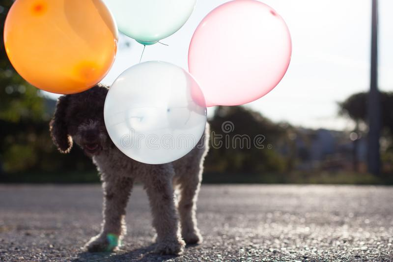 Lagotto romagnolo dog with balloons royalty free stock image