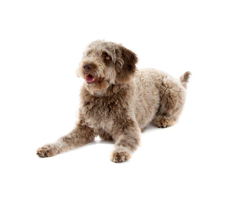 Lagotto romagnolo dog stock photos