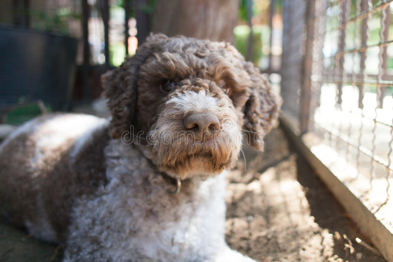 Lagotto romagnolo royalty free stock images