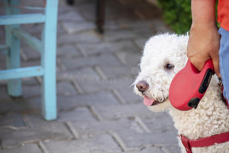 Lagotto romagnolo with a dog owner. He& x27;s got a red collar. The dog& x27;s head and the owner& x27;s hand are visible royalty free stock images