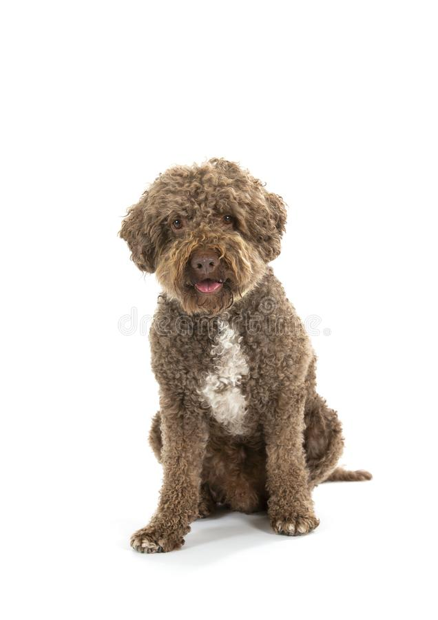 Lagotto romagnolo dog portait isolated on white. stock images
