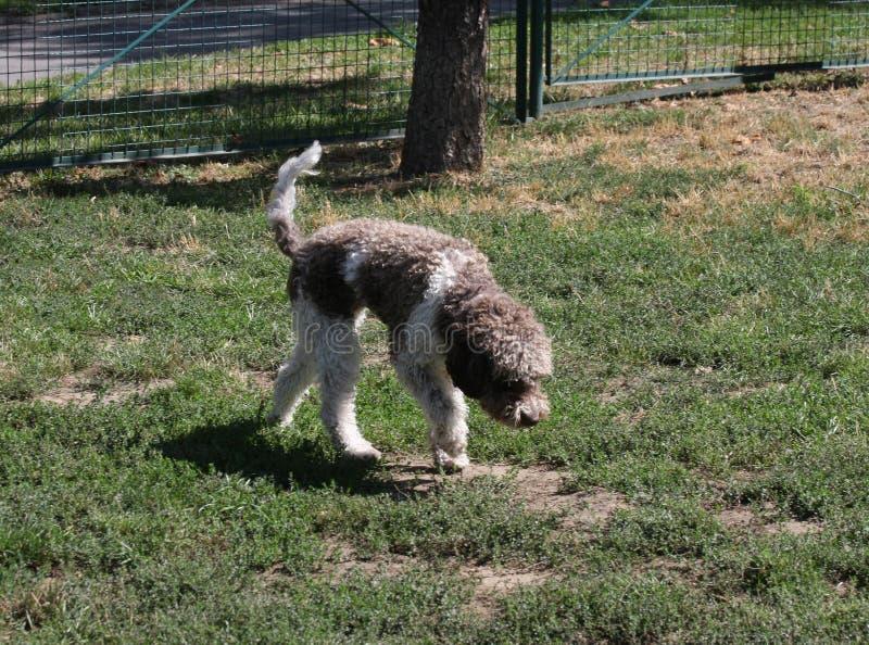 Lagotto Romagnolo i hund parkerar royaltyfria bilder